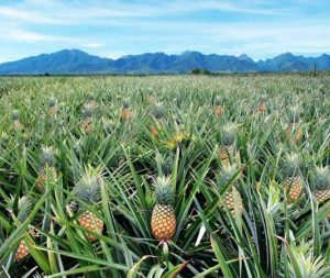 Delmonte Pineapple Farm