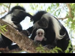 Colobus Monkeys in Kenya
