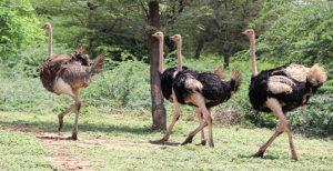 Maasai Ostrich Park