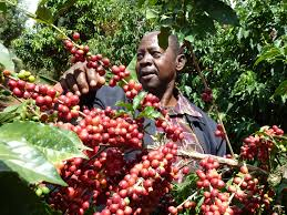 Coffee Farming in Kenya