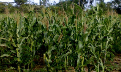 Maize Farming in Kenya