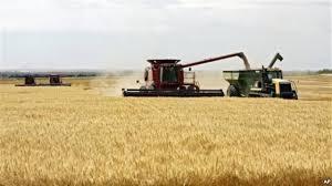 Wheat Farming in Kenya