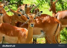 Antelopes in Kenya