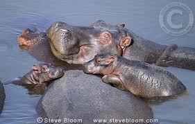 Hippopotamus in Kenya