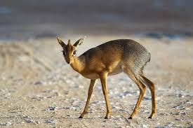 Kirks Dik Dik Antelope