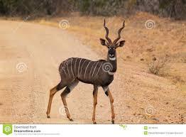 Lesser Kudu Antelope in Kenya