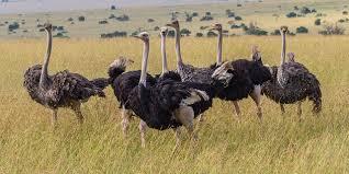 Ostrich in Kenya