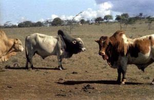 Beef Farming in Kenya