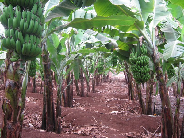 Banana Farming in Kenya