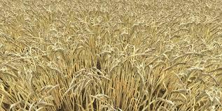 Barley Farming in Kenya