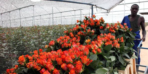 "Flower Farms in Kenya <ol class=""lcp_catlist"" id=""lcp_instance_0""></ol>"