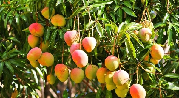 Mango Farming in Kenya