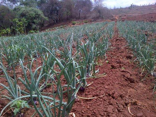 Onion Farming in Kenya