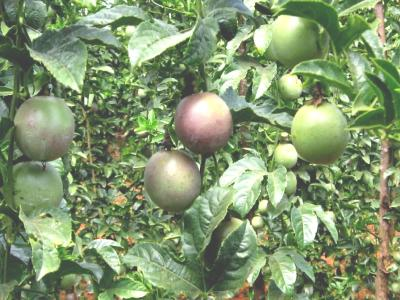 Asexual propagation of horticultural crops in kenya