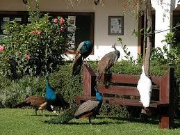 Peacock Farming in Kenya