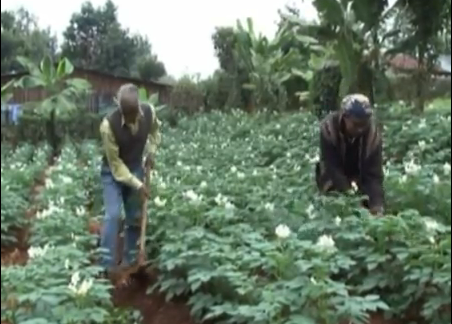Potato Farming in Kenya