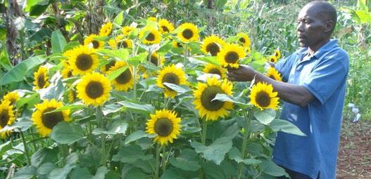 Sunflower Farming in Kenya