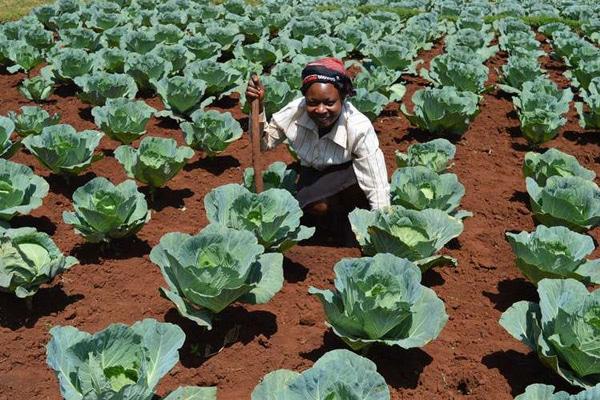 Image result for Cabbage Farming in Kenya