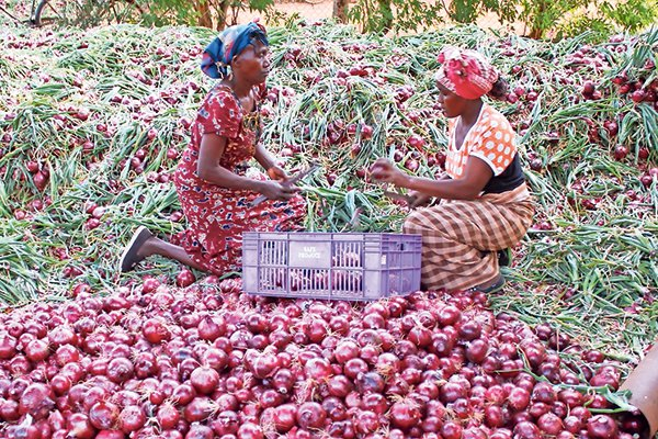 Image result for Onion Farming in Kenya