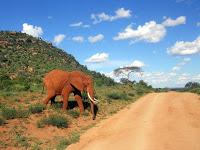 elephants at the tsavo west national park