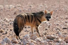 Aardwolf in Kenya